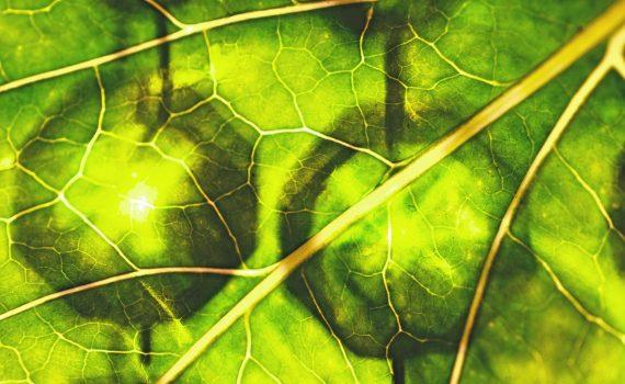 La chlorophylle : un atout pour votre santé